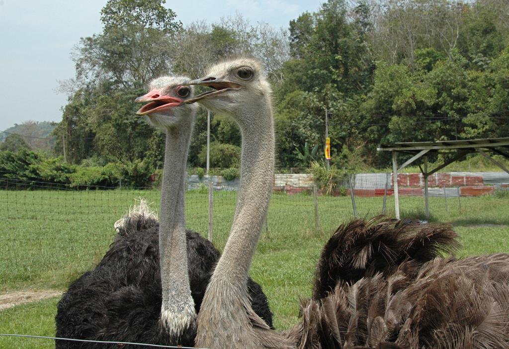 Ostrich Farm Malaysia Jelita Ostrich Farm